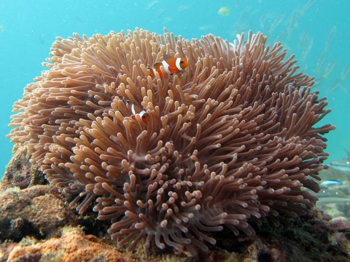 Koh Lanta Diving Carpet Anemones Stichodactylidae
